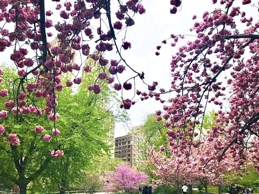 NYセントラルパークの桜のお茶会・平成最後の日。_f0181251_16315618.jpg