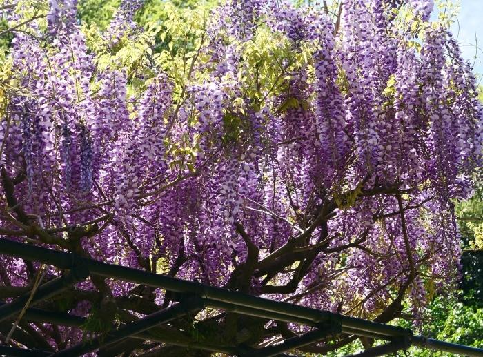 和歌山城の藤   2019-05-02 00:00   _b0093754_22284381.jpg