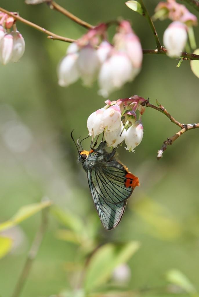 ブルーベリーで吸蜜するセセリ_e0224357_21005764.jpg