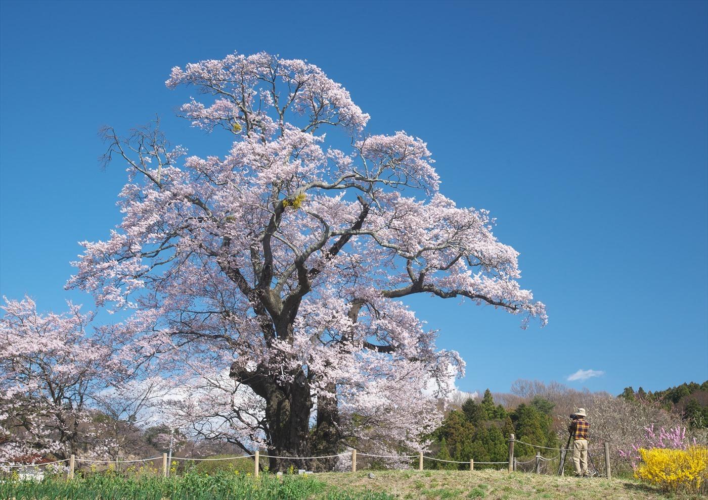 塩ノ崎大桜_f0018464_18254704.jpg