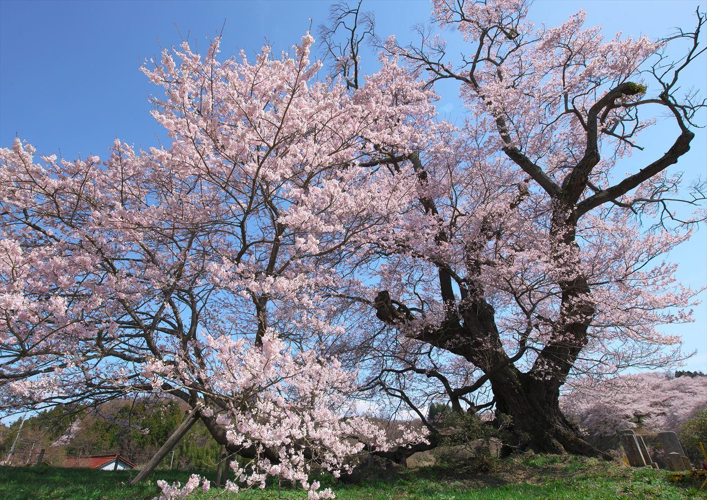 塩ノ崎大桜_f0018464_18431362.jpg