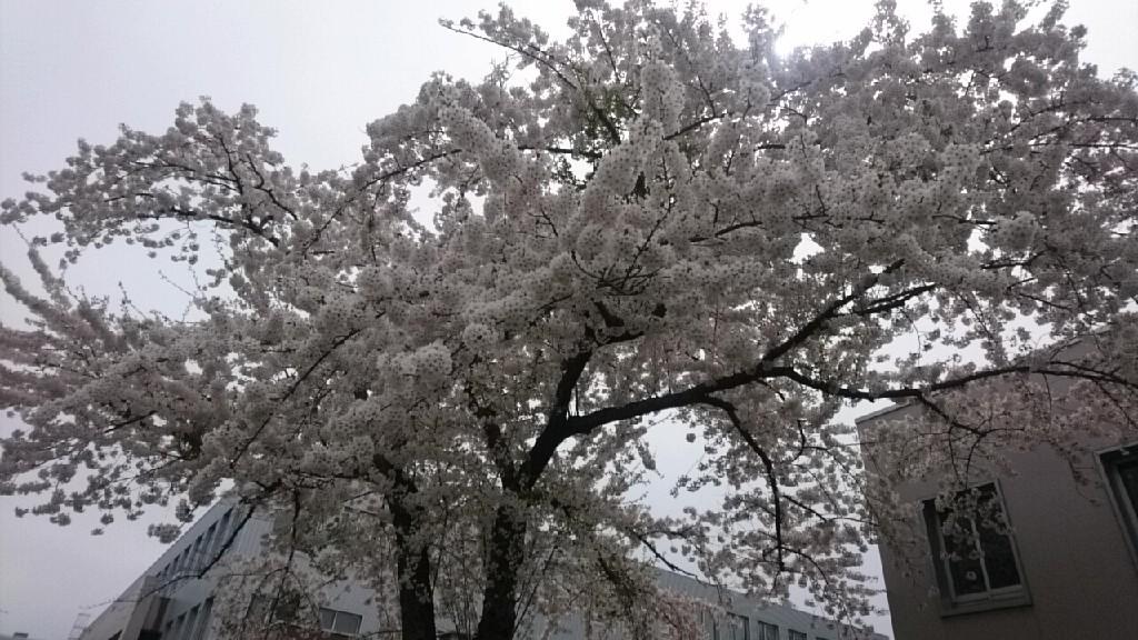 函館のさくら、函館教育大学がおすすめ_b0106766_14414772.jpg