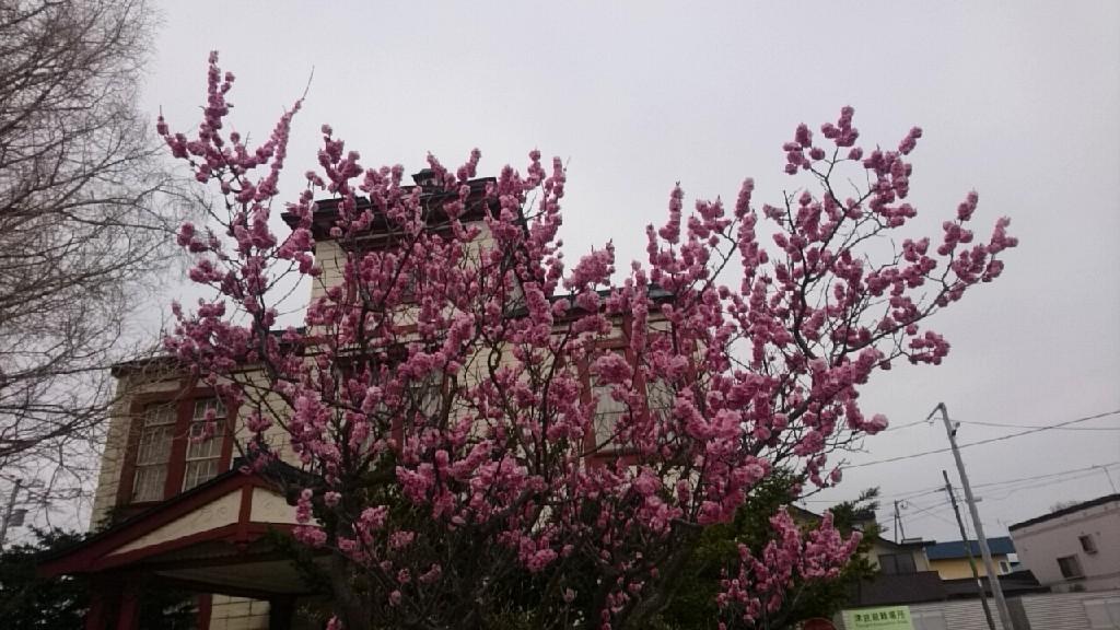 函館のさくら、函館教育大学がおすすめ_b0106766_14421848.jpg
