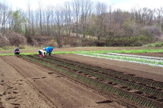 長ネギ苗を植える_c0110869_06212321.jpg
