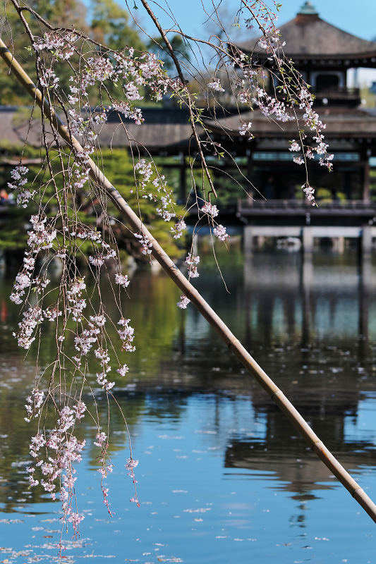 桜 2019 平安神宮_f0021869_23100150.jpg
