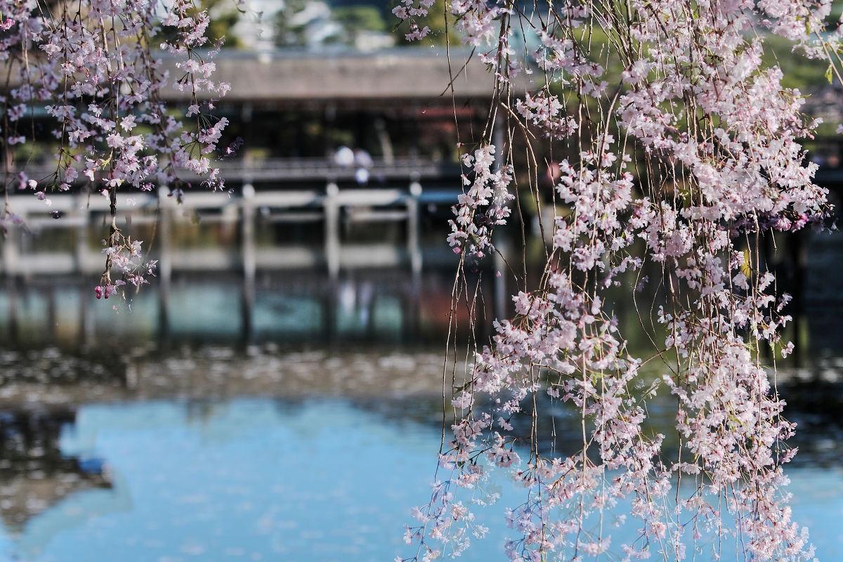 桜 2019 平安神宮_f0021869_23100258.jpg