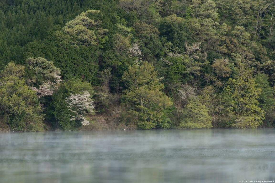 名残の桜 室生湖 2 立ちこめる川霧_c0350572_18201031.jpg