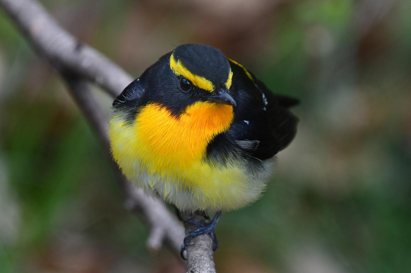 令和元年 最初の鳥さんは キビタキ_f0053272_23124862.jpg