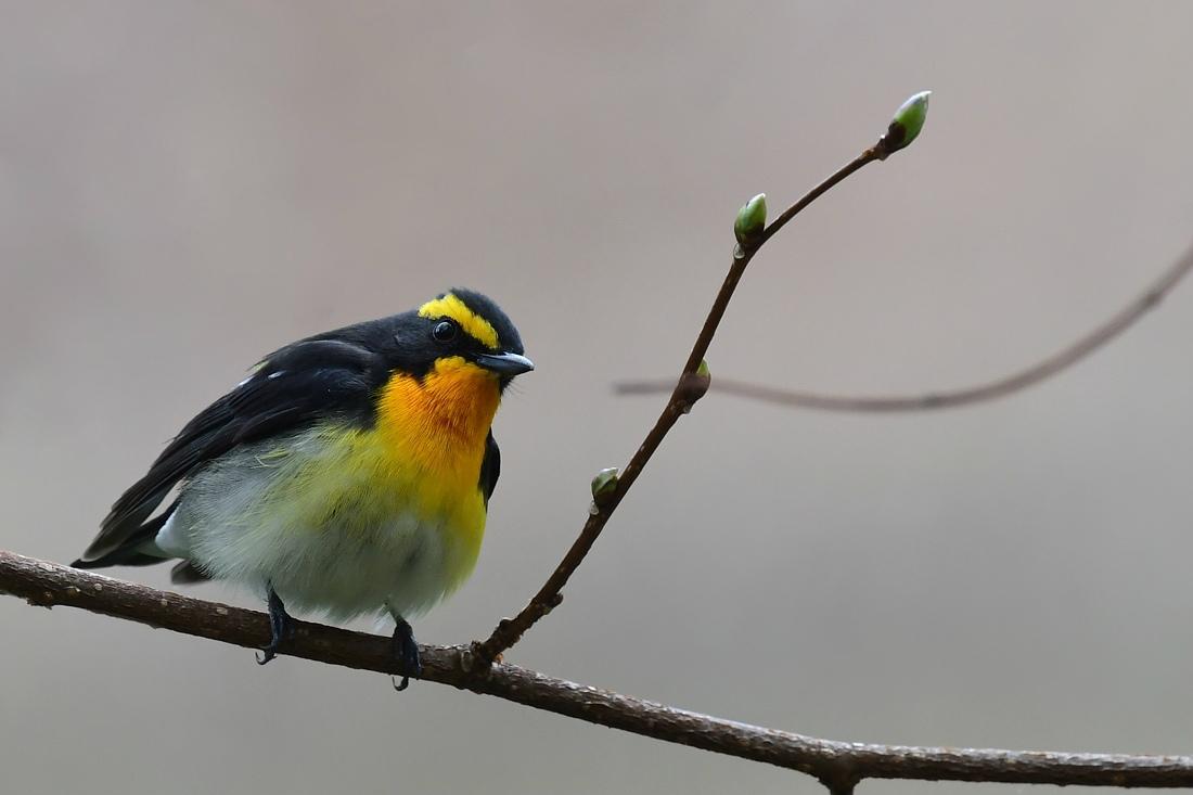 令和元年 最初の鳥さんは キビタキ_f0053272_23134149.jpg