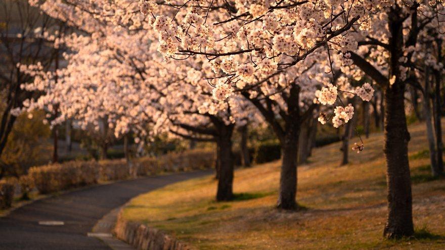 黄昏を見つめる桜たち_d0353489_16161823.jpg