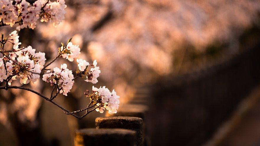 黄昏を見つめる桜たち_d0353489_16162167.jpg