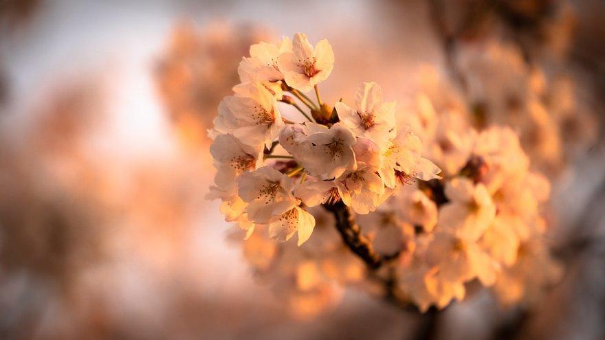 黄昏を見つめる桜たち_d0353489_16163540.jpg