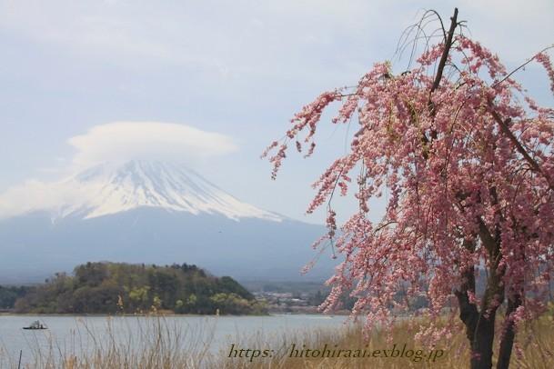 富士山と桜 河口湖畔 大石公園_f0374092_17435493.jpg