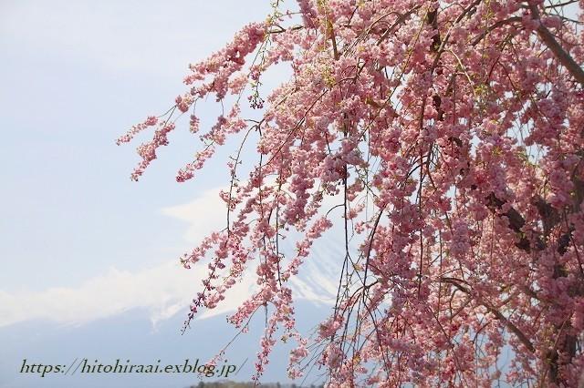 富士山と桜 河口湖畔 大石公園_f0374092_18114759.jpg
