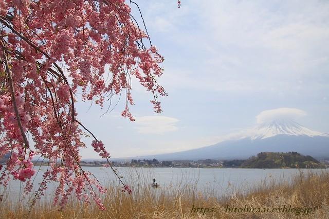富士山と桜 河口湖畔 大石公園_f0374092_18150892.jpg