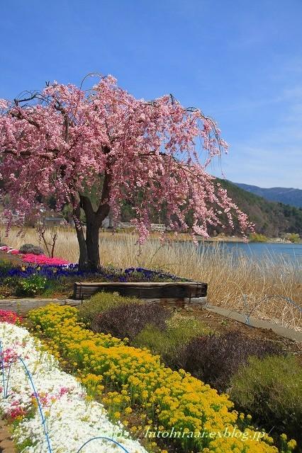 富士山と桜 河口湖畔 大石公園_f0374092_18152145.jpg