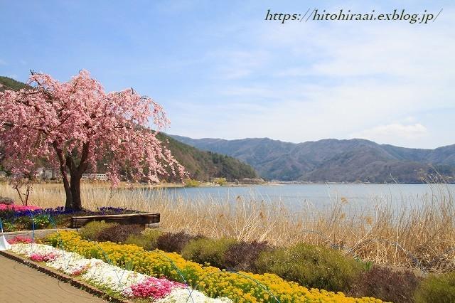富士山と桜 河口湖畔 大石公園_f0374092_18162545.jpg