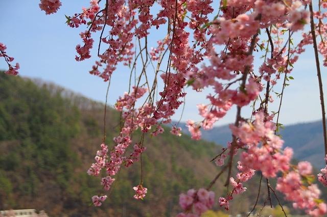 富士山と桜 河口湖畔 大石公園_f0374092_18170293.jpg