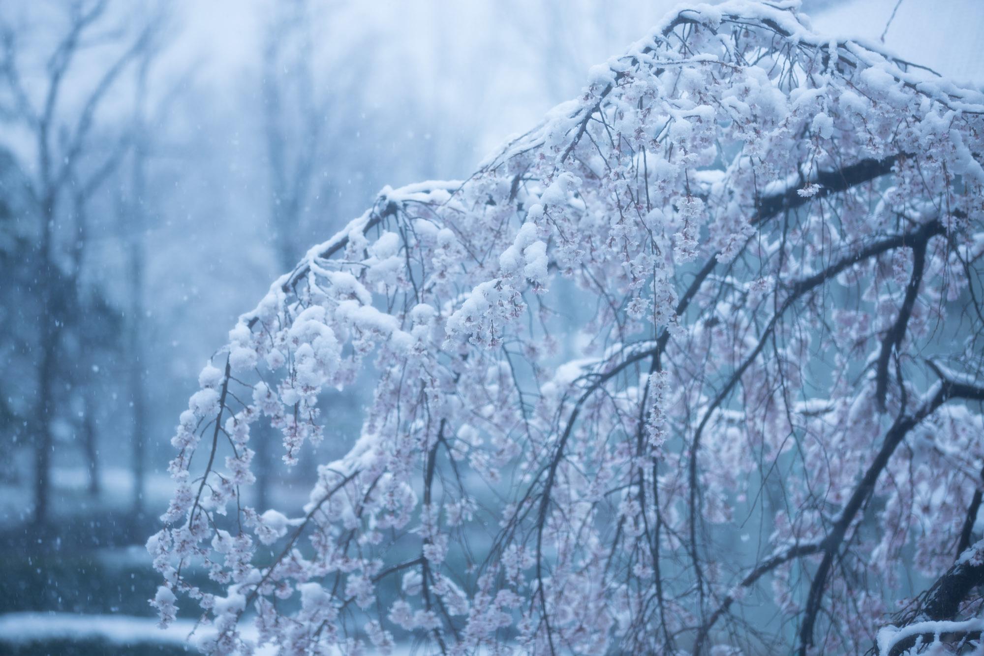 なごり雪の窓辺~あがたの森の枝垂桜~_d0349418_20475955.jpg
