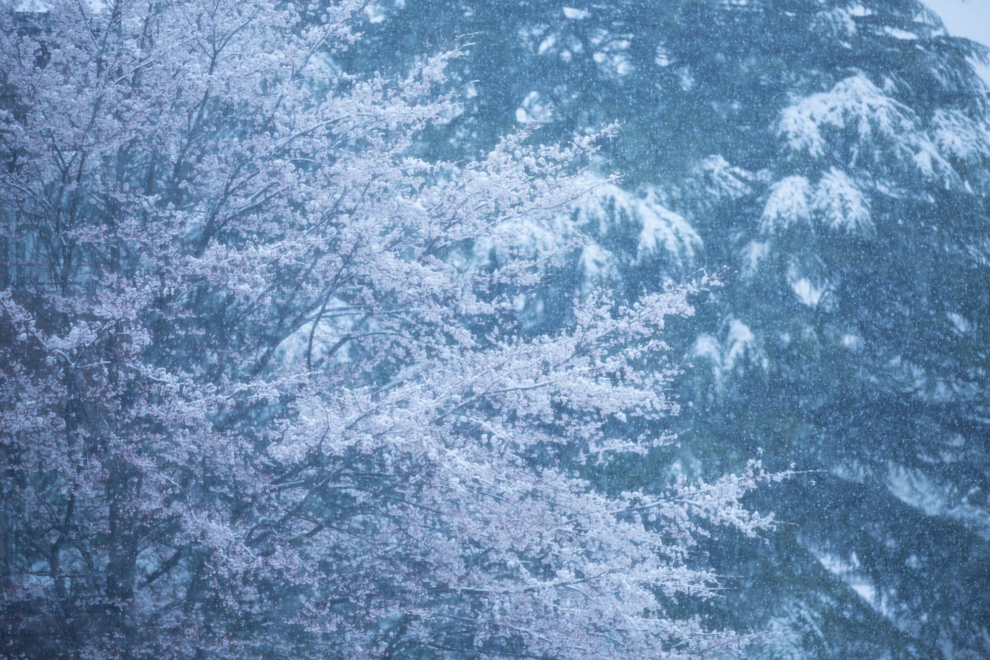 なごり雪の窓辺~あがたの森の枝垂桜~_d0349418_20481419.jpg
