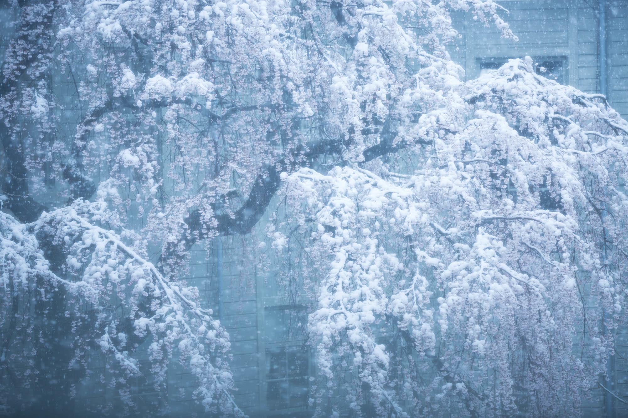 なごり雪の窓辺~あがたの森の枝垂桜~_d0349418_20491903.jpg