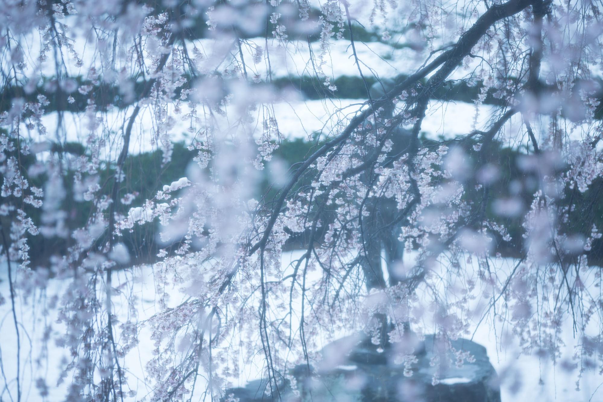 なごり雪の窓辺~あがたの森の枝垂桜~_d0349418_20511246.jpg