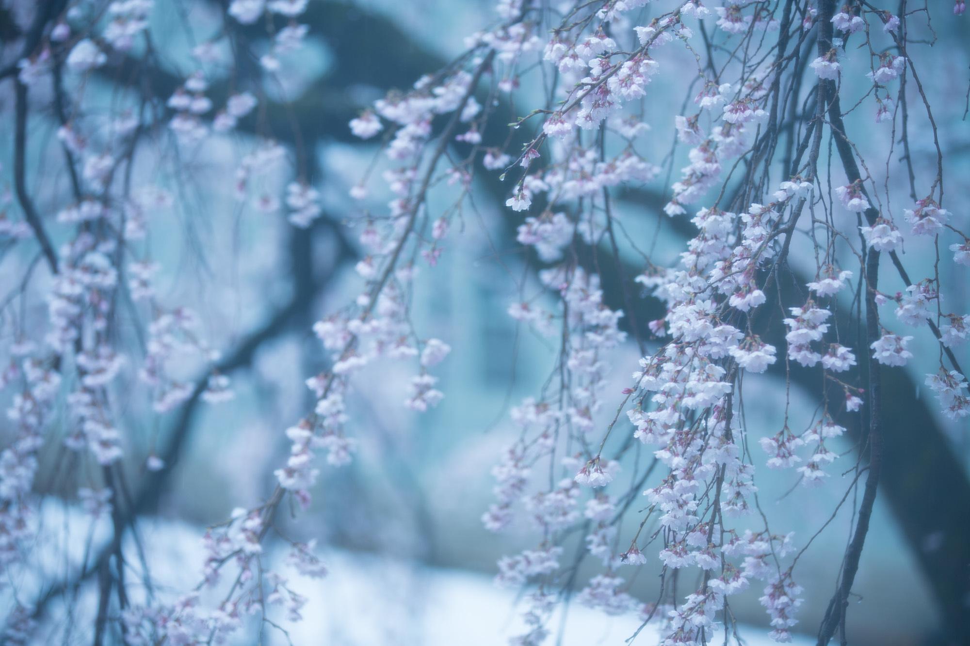 なごり雪の窓辺~あがたの森の枝垂桜~_d0349418_20512538.jpg