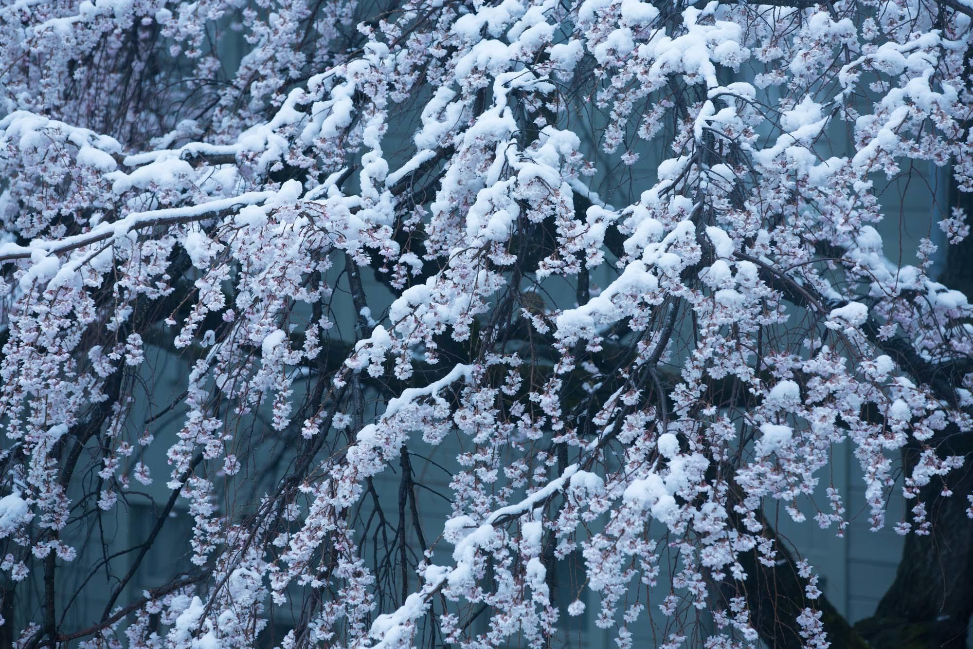 なごり雪の窓辺~あがたの森の枝垂桜~_d0349418_20522987.jpg