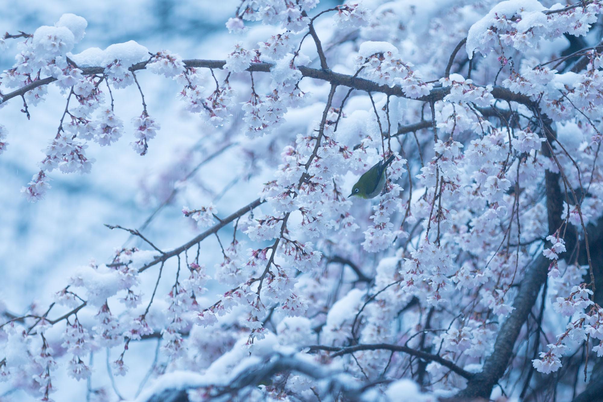 なごり雪の窓辺~あがたの森の枝垂桜~_d0349418_20534517.jpg