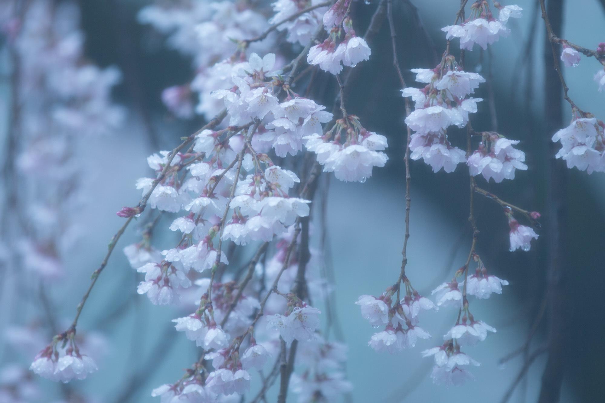 なごり雪の窓辺~あがたの森の枝垂桜~_d0349418_20535914.jpg