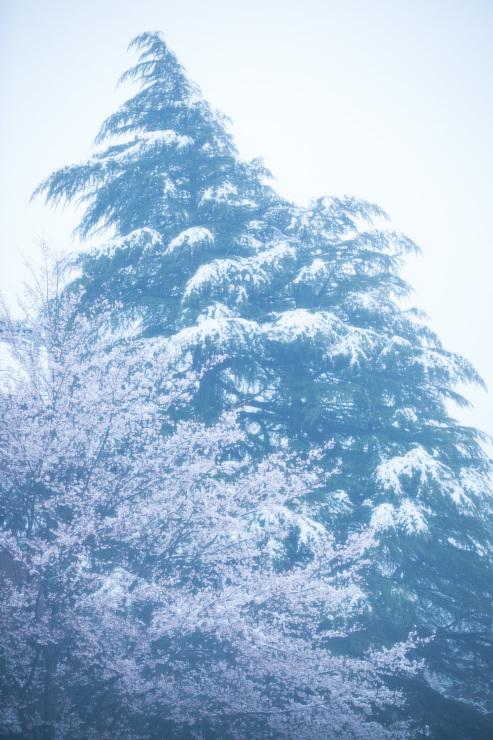 なごり雪の窓辺~あがたの森の枝垂桜~_d0349418_20590266.jpg