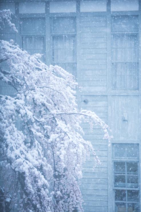 なごり雪の窓辺~あがたの森の枝垂桜~_d0349418_21060938.jpg