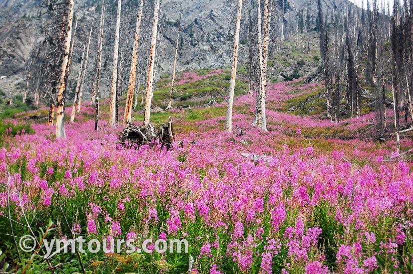カナディアンロッキー 夏のハイキングシーズン到来間近! 高山植物の魅力と種類を大特集します。_d0112928_05430991.jpg