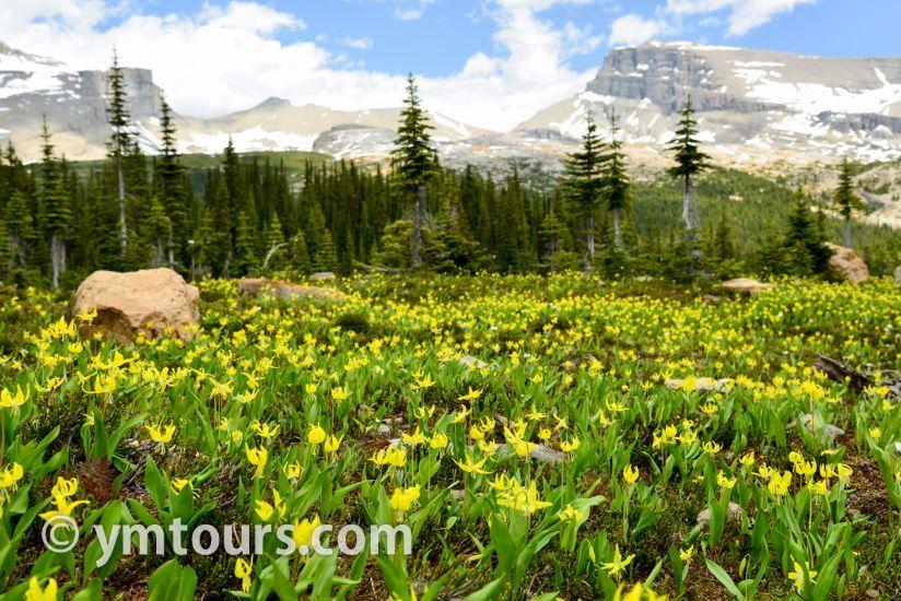 カナディアンロッキー 夏のハイキングシーズン到来間近! 高山植物の魅力と種類を大特集します。_d0112928_05432022.jpg