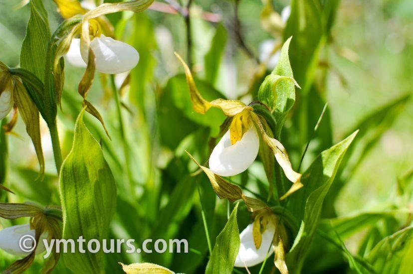 カナディアンロッキー 夏のハイキングシーズン到来間近! 高山植物の魅力と種類を大特集します。_d0112928_06164357.jpg