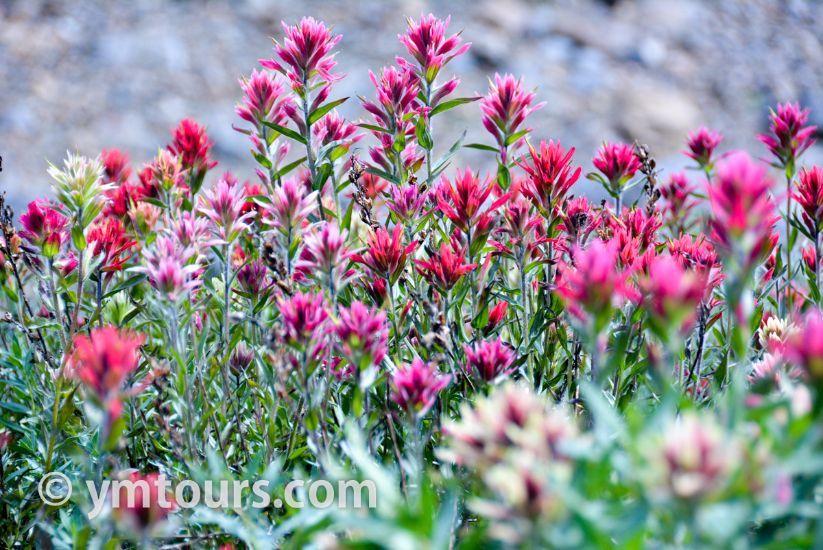 カナディアンロッキー 夏のハイキングシーズン到来間近! 高山植物の魅力と種類を大特集します。_d0112928_06553224.jpg