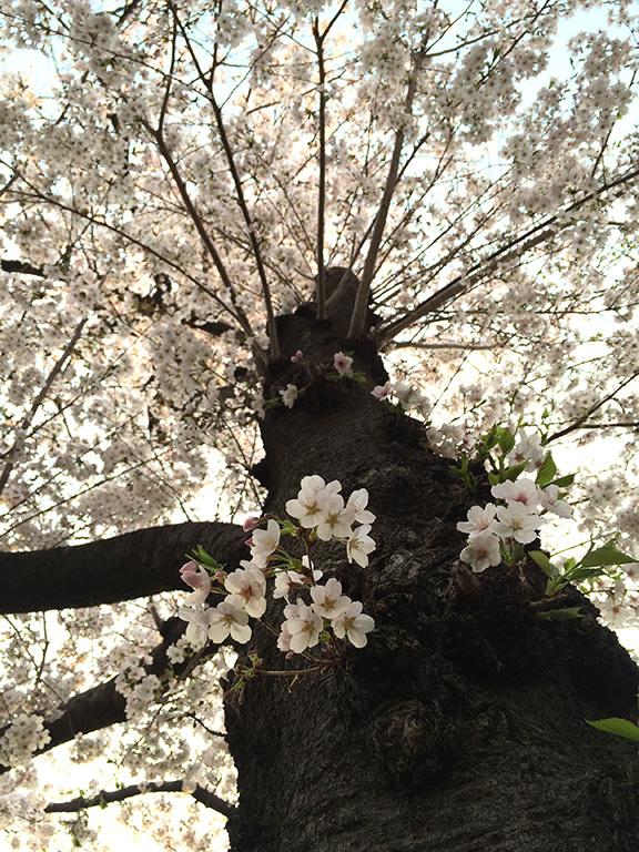 春の夕暮れ~今年の桜  2019/04/07-sun_f0031535_16043648.jpg