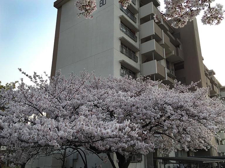春の夕暮れ~今年の桜  2019/04/07-sun_f0031535_16055658.jpg