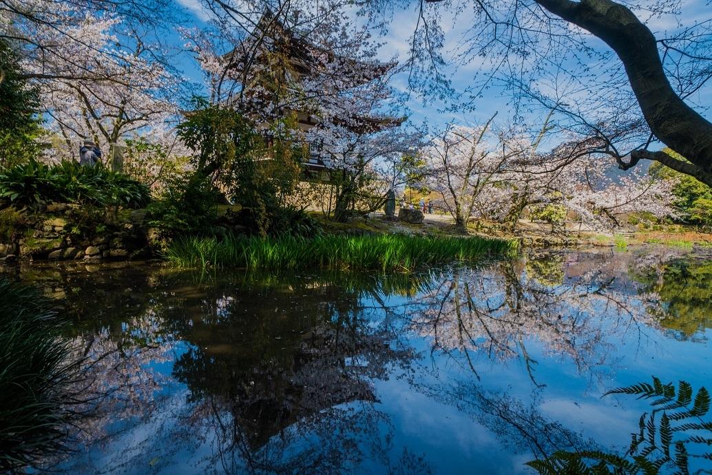 2019京都桜~勧修寺_e0363038_15550002.jpg