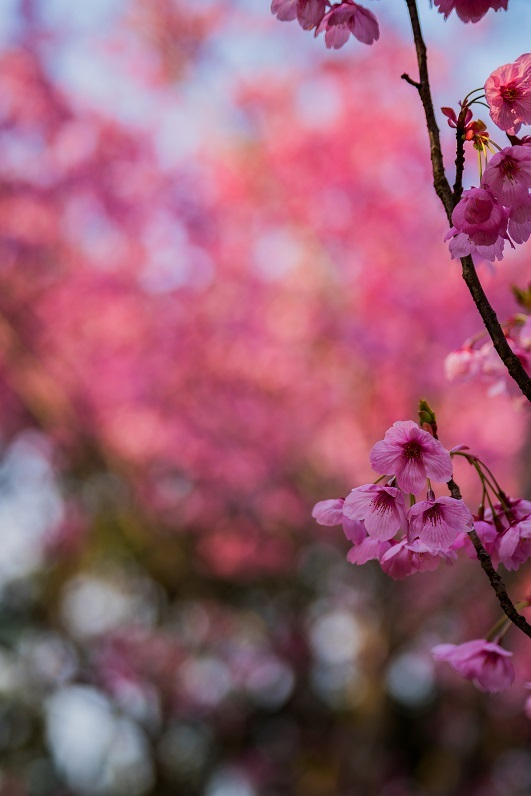 2019京都桜~熊野若王子神社_e0363038_16313215.jpg