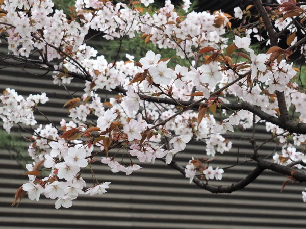 名残の桜2019(あ、なんか番号振ってたっけな、その8とか)_d0027243_09280929.jpg