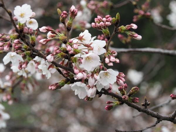 名残の桜2019(あ、なんか番号振ってたっけな、その8とか)_d0027243_09283169.jpg