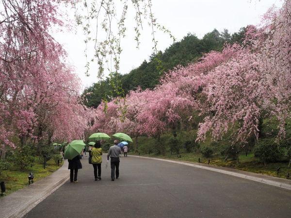 名残の桜2019(あ、なんか番号振ってたっけな、その8とか)_d0027243_09291993.jpg
