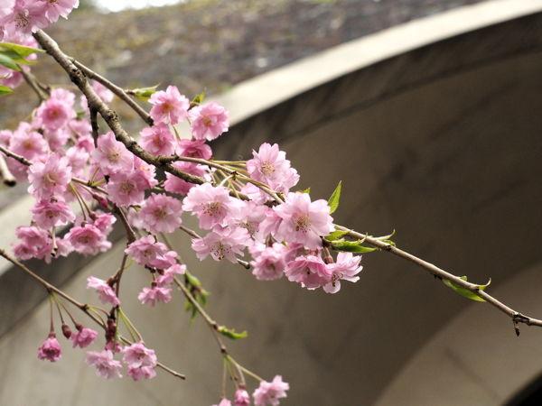 名残の桜2019(あ、なんか番号振ってたっけな、その8とか)_d0027243_09293605.jpg