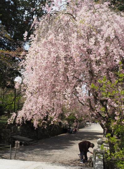 名残の桜2019(あ、なんか番号振ってたっけな、その8とか)_d0027243_09295368.jpg