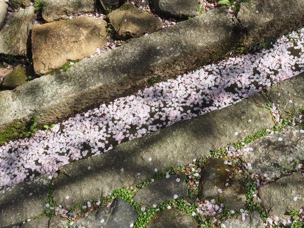 名残の桜2019(あ、なんか番号振ってたっけな、その8とか)_d0027243_09300953.jpg