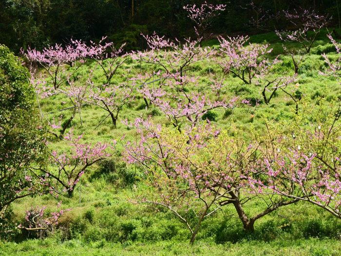 桃の花  2019-05-03 00:00   _b0093754_22061175.jpg