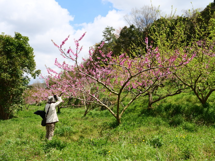 桃の花  2019-05-03 00:00   _b0093754_22063685.jpg