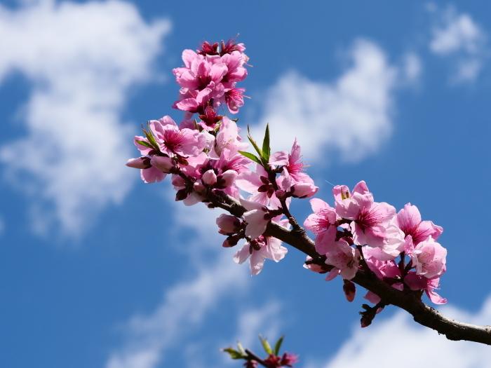 桃の花  2019-05-03 00:00   _b0093754_22070879.jpg