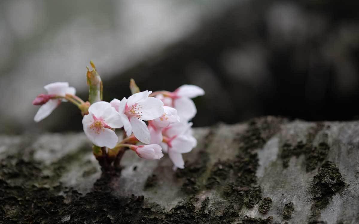 桜 2題+one_e0220159_16265985.jpg